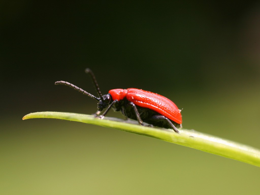 Red_bug